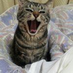 ネコさんのあくびにはいろいろな意味がある