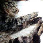 【日常】無防備に寝ていると触りたくなるよね、とらさん。
