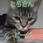 【とらさん動画60】じゃらし!