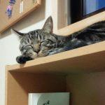 【日常】とらさん本棚の上で寝ます